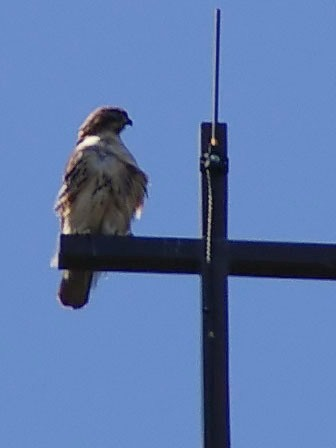 photo of red-tailed hawk perching on spire cross