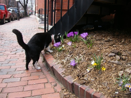 Jake sniffing crocuses