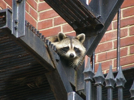 raccoon on fire escape